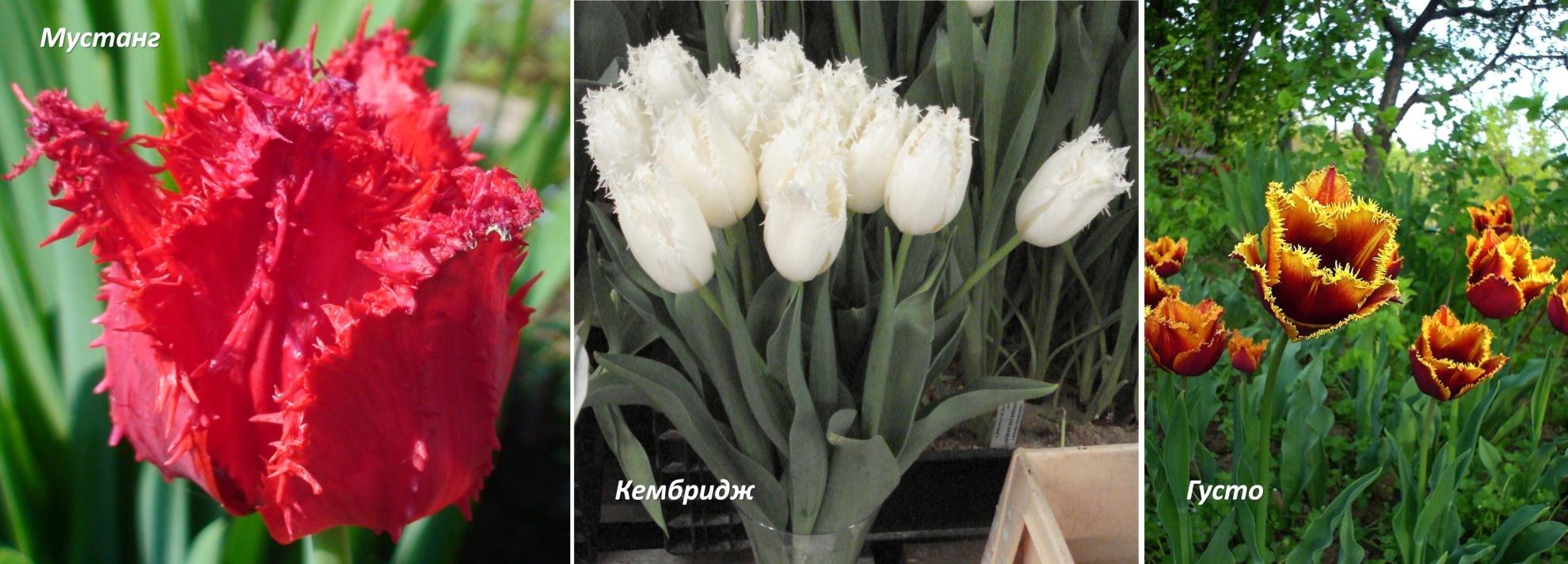 сорта тюльпанов фото и названия с описанием неделю заканчиваю